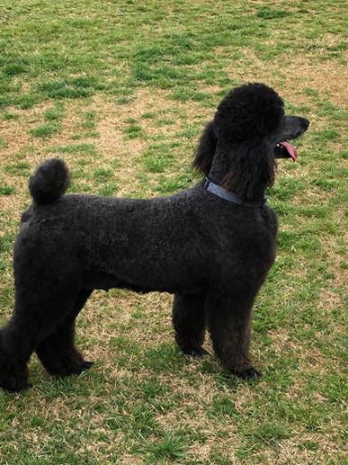 Chanel; Red Dirt K9's Matriarch AKC Standard Poodle