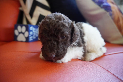 poodle for sale in oklahoma