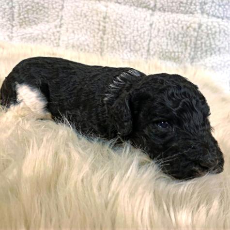 Black Poodle Puppy