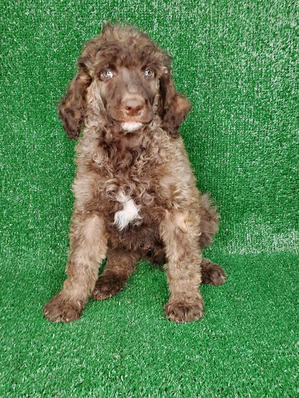 Male Standard Poodle Sable