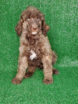 Male Standard Poodle Sable