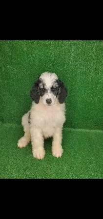 Female Standard Poodle Tri Colored