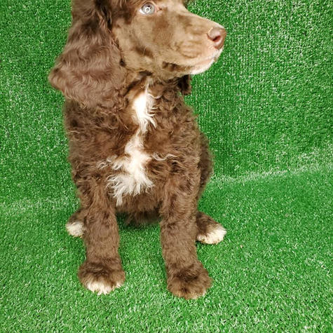 Female Standard Poodle Chocolate Abstract
