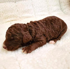 Brown & White Standard Poodle