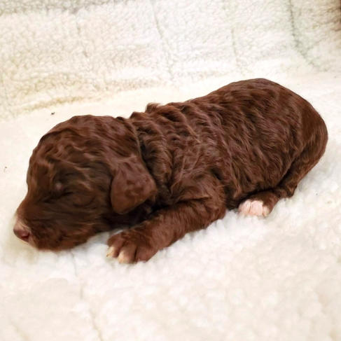 Female Brown & White Standard Poodle