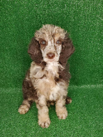 Male Standard Poodle Brown Merle Phantom