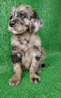 Male Goldendoodle