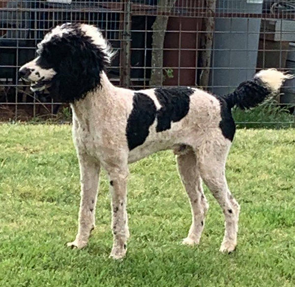 1 year old male poodle.jpg