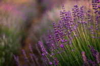 lavender-photoshoot-23.jpg