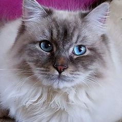 a'Blazesiberians.longhairedbeauties.kitt