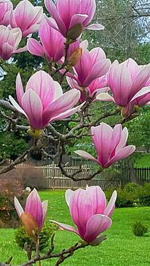 "early MD magnolia ""tulips"".jpg"