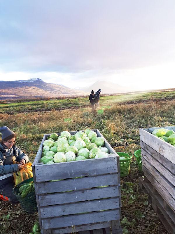 Móðir Jörð, Vallanes, austurland, landsbyggðin, lífræn ræktun, hvítkál, frumkvöðlastarf, úr vör, vefrit