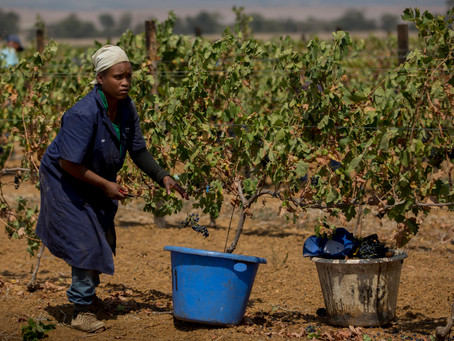 Farm workers paying the prize for cheap South African wine