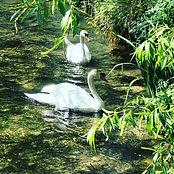 Chalk Stream with swans Hampshire.JPG