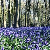Bluebell Woods Micheldever.JPG