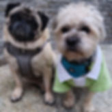 A pug and pug cross are practicing obedience command sit and stay on Seawall in Yaletown. Pub cross is wearing a green shirt with white collar