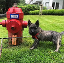 Carin terrier puppy standing beside a fire hydrant