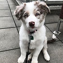 white and brown mini australian shepherd puppy practiting the sit command