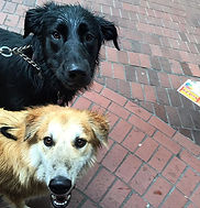 boarder collie mix and husky mix enjoying a walk in gastown vancouver