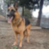 German Shepherd Dog standing in andylivingston park
