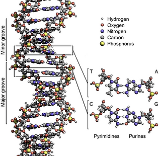 DNA Strand Graphic.png