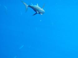 Blackfin Tuna Run