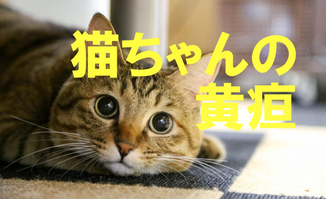 猫ちゃんの黄疸