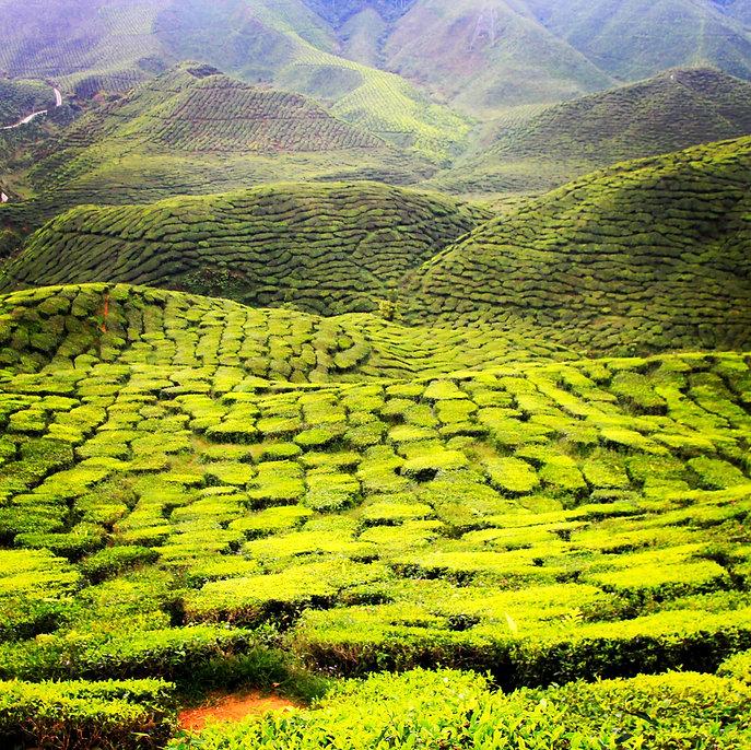 Teeplantage Tea highlands Malaysia Praxis Richter