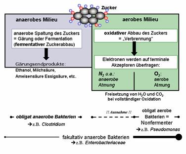 aerob und anearober stoffwechsel energie