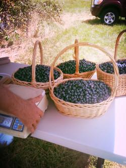 Fresh picked bluebberies!