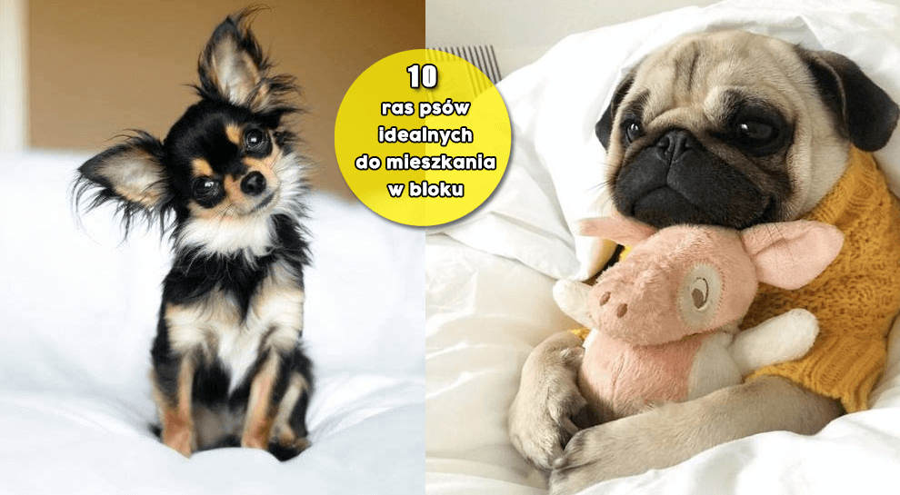 Psy Domowe Jakie Rasy Wybrać Do Mieszkania W Bloku Dailyvibes