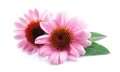 echinacea-post-featured-1200x720.jpg