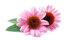 echinacea-post-featured-1200x720_edited_
