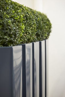 A row of tall tapered grey power-coated planters with buxus balls.jpg