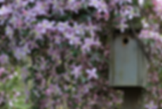 Bird box surrounded by Clematis Elizabeth