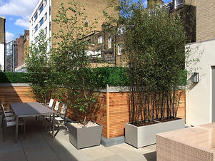 Black bamboo and birch trees in metal planters in front of a wooden slatted screen fence