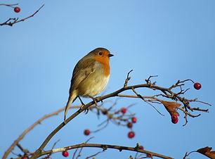 Robin bird sitting on a twig