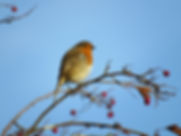 Robin sitting on a twig