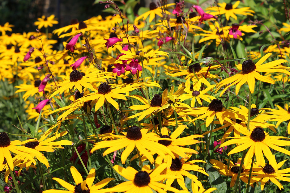 Group of Rudbeckia Goldsturm flowers in a garden