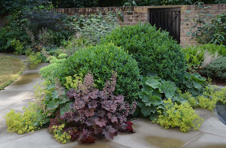 V-shaped flowerbed with large buxus balls, heuchera palace purple and alchemilla mollis