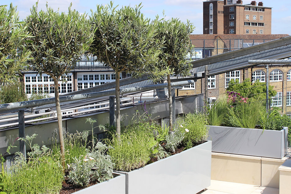 Row of clipped olive trees in metal containers on  roof terrace against a backdro of a school building