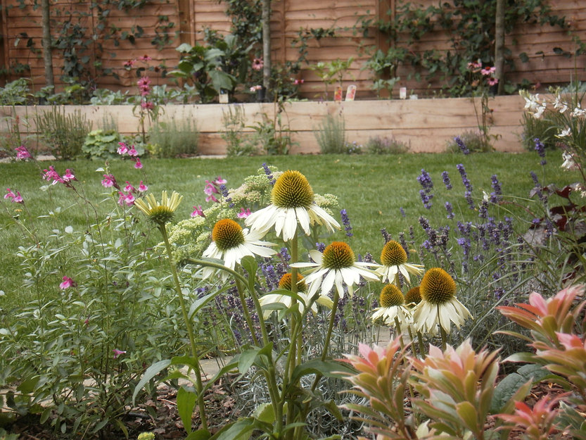 Cone flowers and lavender in a lawned rear garen with an oak sleeper raised bed