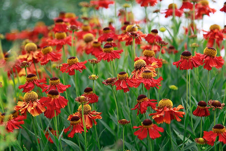 Bright red helenium flowers