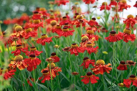 Bright red helenium flowers