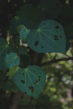 a colour image of kawakawa leaves all green and luscious looking by family photographer Josie Gritten
