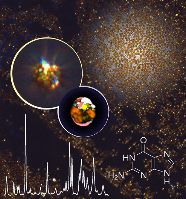 Zooxanthellae in Aiptasia sp. contain large amounts of guanine crystals that are nicely visible under polarized light as twinkling stars (Jana Pilátová)