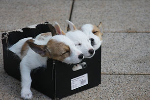 chiots carton.jpg