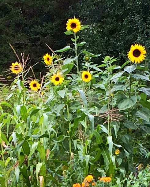 Sunflowers 2014.JPG