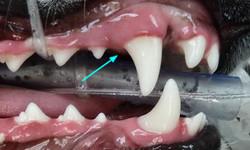 Dental teeth veterinary Pinehurst