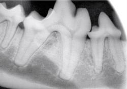 Dental Radiograph Canine
